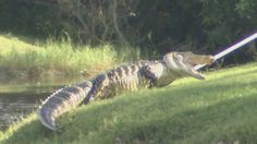 Alligator bites golf ball diver at Weston country club