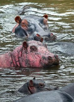Rare Pink Hippo, Kenya