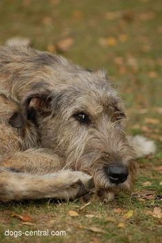 Wolfhounds were bred as hunting dogs by the ancients, who called them Cú Faoil. The Irish continued to breed them for this purpose, as well as to guard their homes and protect their stock. Scottish Deerhound, Irish Wolfhounds, Farm Dogs, Irish Terrier, Irish Setter, Wild Dogs, Hunting Dogs, Whippet, Beautiful Dogs