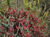 Lechenaultia formosa – Red Lechenaultia A neat bun shaped western Australian native with a spectacular display of red flowers from spring through summer.