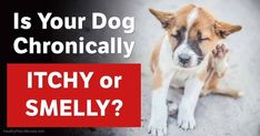Dogs with yeast infections often have an immune system imbalance, have allergies, are on antibiotics, and are immunosuppressed. http://healthypets.mercola.com/sites/healthypets/archive/2015/06/07/dog-yeast-infection.aspx?utm_source=facebook.com&utm_medium=referral&utm_content=facebookpets_ranart&utm_campaign=20171002_dog-yeast-infection