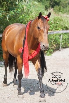 Rojo (Registered Name:  Copys Bay Lena) is a 15 yr old 15.1hh Bright Bay Quarter Horse Mare who is currently available for adoption at circle f horse rescue.  If you would like to learn more about her please  contact circle f horse rescue at www.circlef.ca ©paws and tails pet photography 2013 http://www.pawsandtailspetphotography.com/