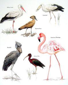 Bird Print - American Flamingo, White Stork, Shoebill, Glossy Ibis - 1984…