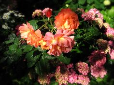 Orange roses and raindrops