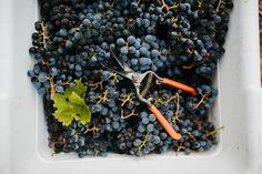 Picking (Wine) Grapes in Healdsburg | Kimberley Hasselbrink