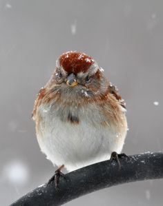 birds+of+new+england | Photo by Chris Bosak An American Tree Sparrow perches near a feeding ...