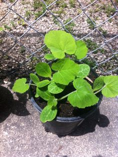 This is my little plant of gourd ... We plant it the seeds 2 weeks ago