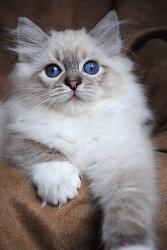 Lynx Ragdoll kitten - Gypsy x Zippity