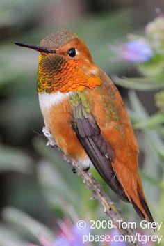 Hummingbird - Mighty Puffball   BirdNote