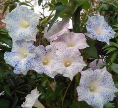 Morning Glory Kikyo Blue Speckled