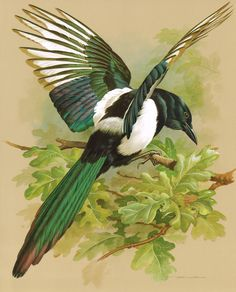 The Magpie - Vintage 1965 Bird Print by Basil Ede