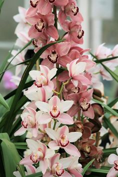 Pink Cymbidium orchids by ruthhallam, via Flickr
