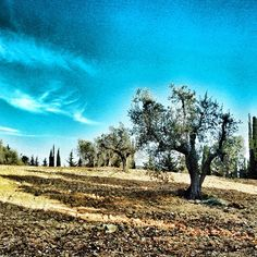 Olive trees, Bolgheri #toscana #tuscany #tuscanygram #bolgheri