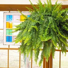 Boston Fern  Boston fern's arching, lacy fronds make it well suited to hanging baskets or for display on a pedestal. Don't let its delicate appearance mislead you, though: This tough plant that will live for decades if you keep it moist and give it moderate light and enough humidity. The variety 'Dallas' is more compact and more tolerant of dry air.