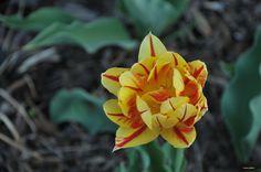 Tulipe de collection