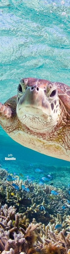 Southern Great Barrier Reef - Green Turtle