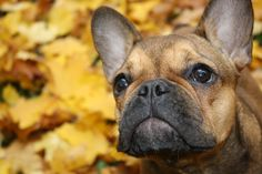 Autumn 2014, French Bulldog Calendar