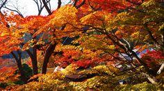善峯寺の煌びやかに輝く色とりどりの紅葉