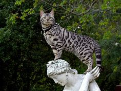 Bengal Cat (Asian Leopard Cat & domestic) love the pose!!