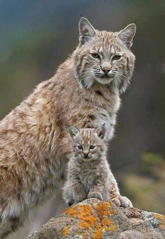 HELP SAVE LYNX FROM ILLEGAL TRAPPING! According to The Center for Biological Diversity, the state of Idaho is enabling Endangered Species Act violations by permitting trapping that leads to incidental killing of lynx. Urge the Idaho Department of Fish G Baby Kittens, Cats And Kittens, Siamese Cats, Cats Bus, Bengal Cats, Sphynx Cat, Bengal Tiger, Big Cats, Cool Cats