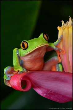 """Yellow-eyed Tree Frog says """"Good day"""" (Agalychnis annae), Costa Rica."""