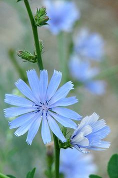 Chicory (Cichorium intybus) -   It's a bushy plant with small blue, lavender, and white flowers. You can eat the entire plant. Pluck off the young leaves and eat them raw or boil them. The chicory's roots will become tasty after boiling. And you can pop the flowers in your mouth for a quick snack.