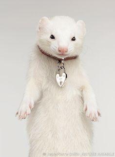 Albino ferret with necklace Super Cute Animals, Cute Funny Animals, Cute Ferrets, Cute Cats, Beautiful Creatures, Animals Beautiful, White Ferret, Pet Ferret, Dou Dou