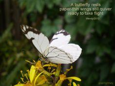 White Butterfly Haiku by Wendy
