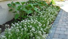 THIS STUFF LOOKS AWESOME, Gonna try instead of mulching AGAIN this year..  Sweet Alyssum Ground Cover - Itsy Bitsy Wicked White by Live Mulch #sweet alyssum #groundcover