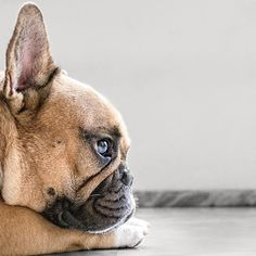 French Bulldog having Deep thoughts, ❤