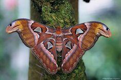 Atlas Moth: Gigantoid!