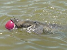 Massive Catfish Gets A Basketball Stuck In Its Mouth  Lazer Horse