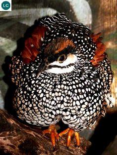 ☎️ https://www.facebook.com/WonderBirdSpecies/  Chinese francolin (Francolinus pintadeanus); Cambodia, China, India, Laos, Myanmar, Philippines, Thailand, and Vietnam;  IUCN Red List of Threatened Species 3.1 : Least Concern (LC)(Loài ít quan tâm)  Chim đa đa; Campuchia, Trung Quốc, Ấn Độ, Lào, Myanmar, Philippines, Thái Lan và Việt Nam; HỌ TRĨ - PHASIANIDAE (pheasants, partridges, junglefowl, chickens, Old World quail, and peafowl).
