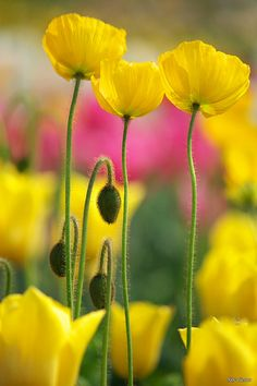 Yellow tulips and poppies Amazing Flowers, Yellow Flowers, Wild Flowers, Beautiful Flowers, Yellow Plants, Poppy Flowers, Flowers Nature, Spring Flowers, Colorful Roses