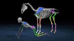 Horse & rider skeleton diagram