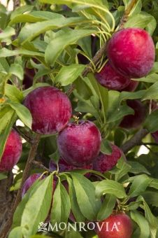 Monrovia's Santa Rosa Plum details and information. Learn more about Monrovia plants and best practices for best possible plant performance.