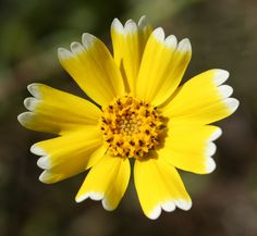 Tidy Tips: Layia platyglossa - in Edgewood Nature Preserve near Redwood City, California; Photo by Philip Bouchard