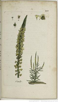 RESEDA - Reseda luteola. La gaude / L'herbe à jaunir / L'herbe jaune