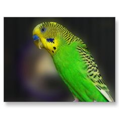 Green Parakeet Postcards