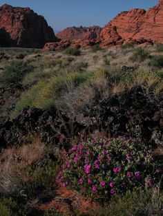 Southern Utah deserts bloom in spring - Desert 4 O'clocks in Snow Canyon State Park near St. George.  Maria Werner/Utah State Parks