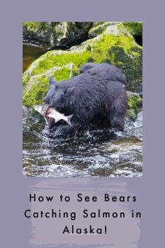 Want the experience of a lifetime on your Alaskan cruise? A trip to see the bears catching salmon at Anan Creek will have you walking through the world's largest intact deciduous rainforest after a floatplane ride! #bears #wildlike #bucketlist #Alaska #TBIN