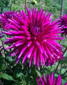 Buy cactus dahlia tuber Dahlia 'Purple Gem': Delivery by Crocus Types Of Flowers, Cut Flowers, Dahlia Flowers, Summer Flowering Bulbs, Dahlia Bouquet, Blue And Purple Flowers, Buy Cactus, Herbaceous Perennials, Garden Care