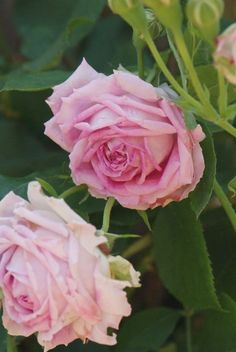 Noisette Rose: Rosa 'Pavillon de Prégny' (France, 1863)