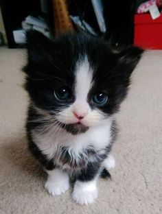 Cute cat gif, cute kittens, kittens and puppies, baby kittens, kittens meowing Cute Fluffy Kittens, Cute Little Kittens, Cute Baby Cats, Fluffy Cat, Black Kittens, Adorable Kittens, Super Cute Kittens, Cute Black Kitten, White Cats