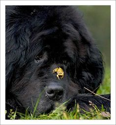 Dere is a froggie on mai nose. Halp! I don't want to hurts it! Found this cute Newfie on www.p-uppy.com
