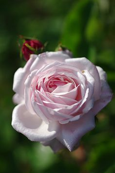 ~Bourbon Rose: Rosa 'Mademoiselle Blanche Lafitte' (France, 1851)