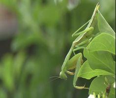 Praying Mantis Mindanao, Praying Mantis, Philippines, Plant Leaves, Garden, Plants, Pictures, Cagayan De Oro, Photos