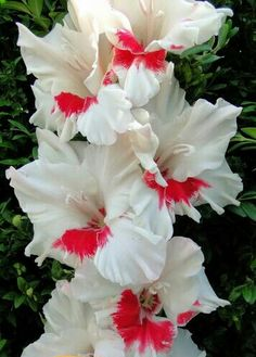 Great Flower Supply Expert Services Available Online Gladiolus 'News' Gladiolus Flower, My Flower, Flower Power, Outdoor Plants, Garden Plants, Pretty Flowers, Colorful Flowers, Beautiful Flowers Wallpapers, Purple Ombre