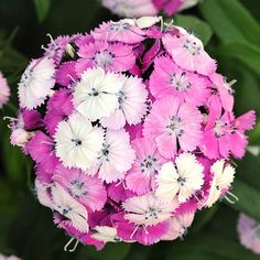 Filling cottage gardens with their sweet scents, dianthus varieties also offer pretty blooms in shades of pink, red, and white.                         Name: Dianthus varieties                         Growing conditions: Full sun and well-drained soil                         Height: To 2 feet tall                         Zones: 3-10, depending on variety