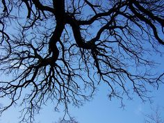 Black locust branches against blue sky. Photo featured on Bonsai Society of Royal   Botanical Gardens website, http://www.bonsaisocietyatrbg.com/wp/archives/29.  #trees #photography #art #outdoors